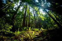 Forest in the Redwoods-